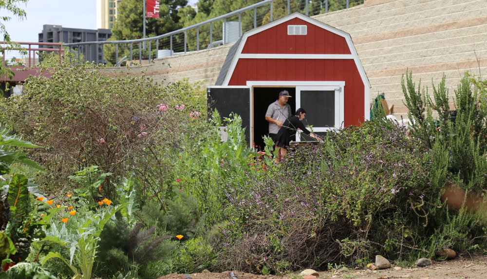A red barn-like shed sits among the crops at the City College urban farm