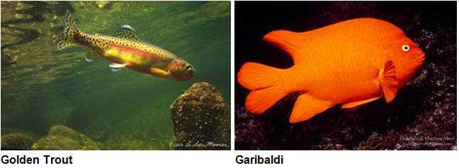 Golden trout and girabaldi fish