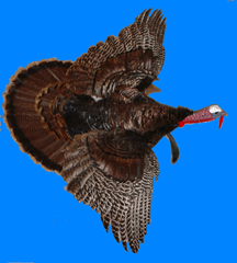 Photo of a turkey