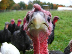 Closeup of a turkey's face